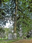 Крошин, усадьба: парк: дуб