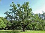 "Столин, усадьба: парк ""Маньковичи"":  дуб"