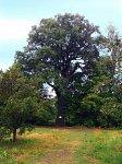 Дубой (Пинский р-н), усадьба: парк: дуб Боны Сфорца (?), XVI в.?