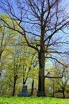 Флерьяново, усадьба: парк: дуб, посаженный Элизой Ожешко, 1908-09 гг.