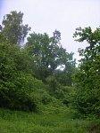 Козий Брод, усадьба: парк: дуб и сосна (свитые друг с другом)