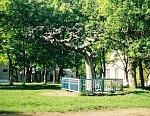 Станьково, усадьба:    парк: вяз голый